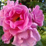 pink rose sq